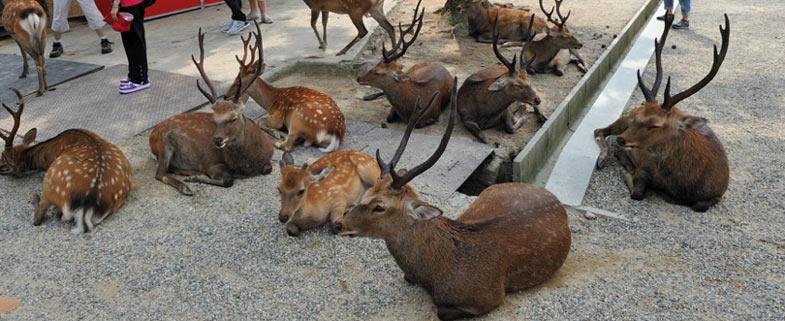heilige herten Nara Japan