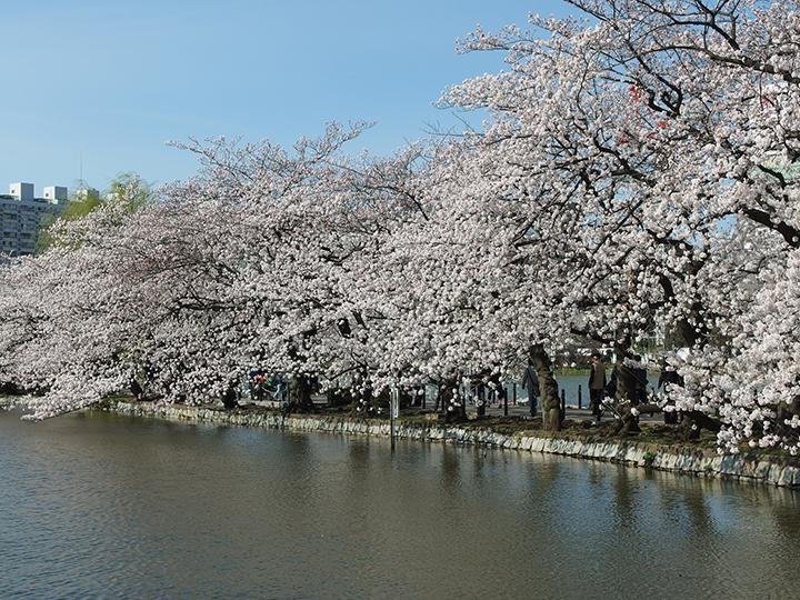 Sakura in Ueno Park Tokyo