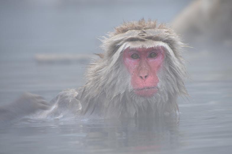 Yudanaka snow monkey