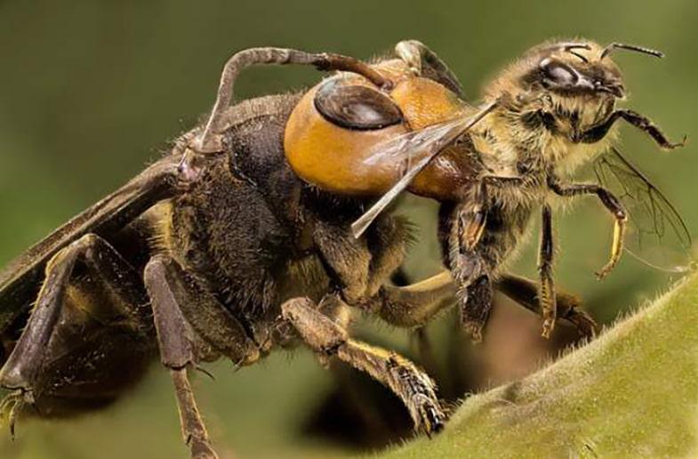 Japanse hoornaar en honingbij
