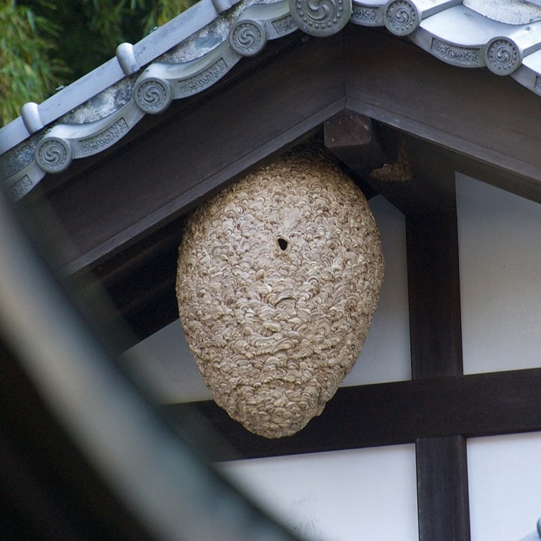 Japanse hoornaar nest
