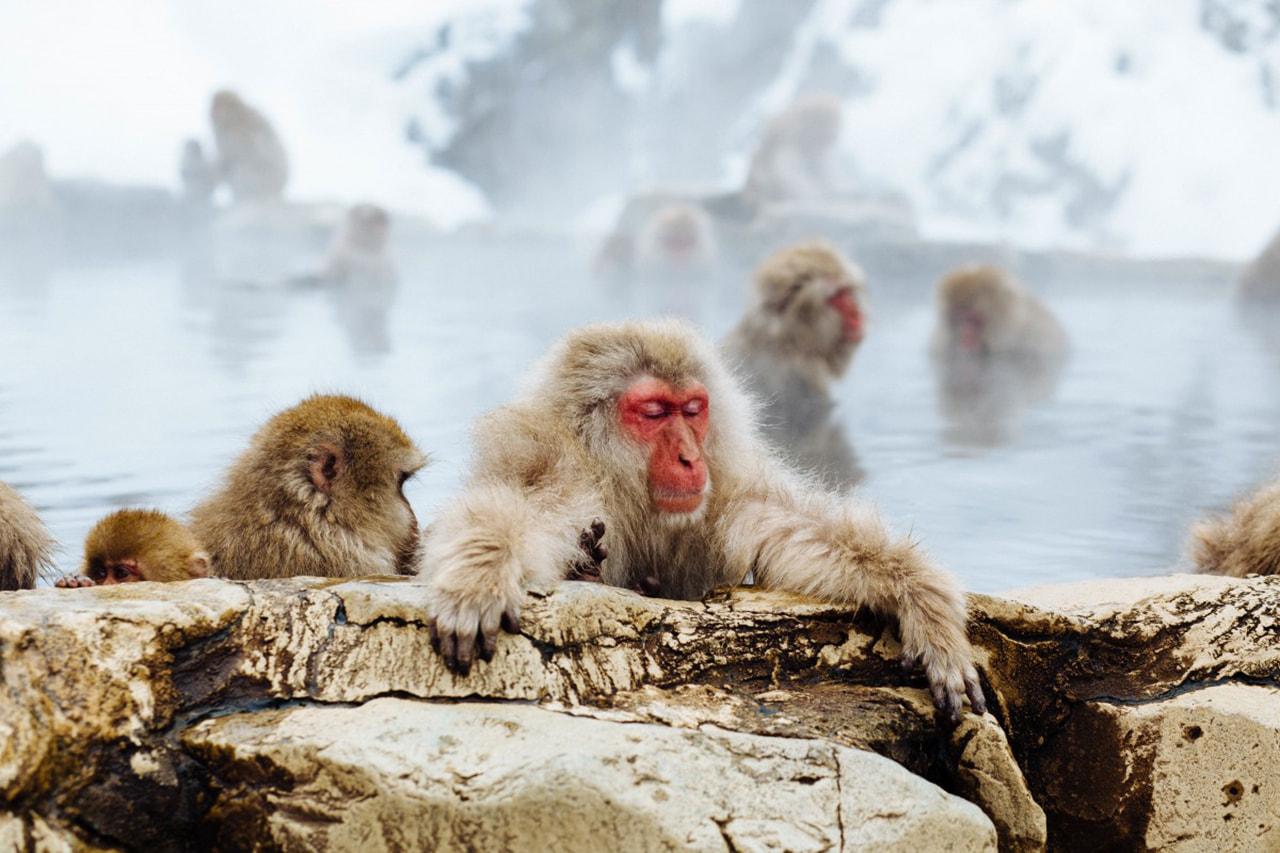 Japanse makaak in de sneeuw