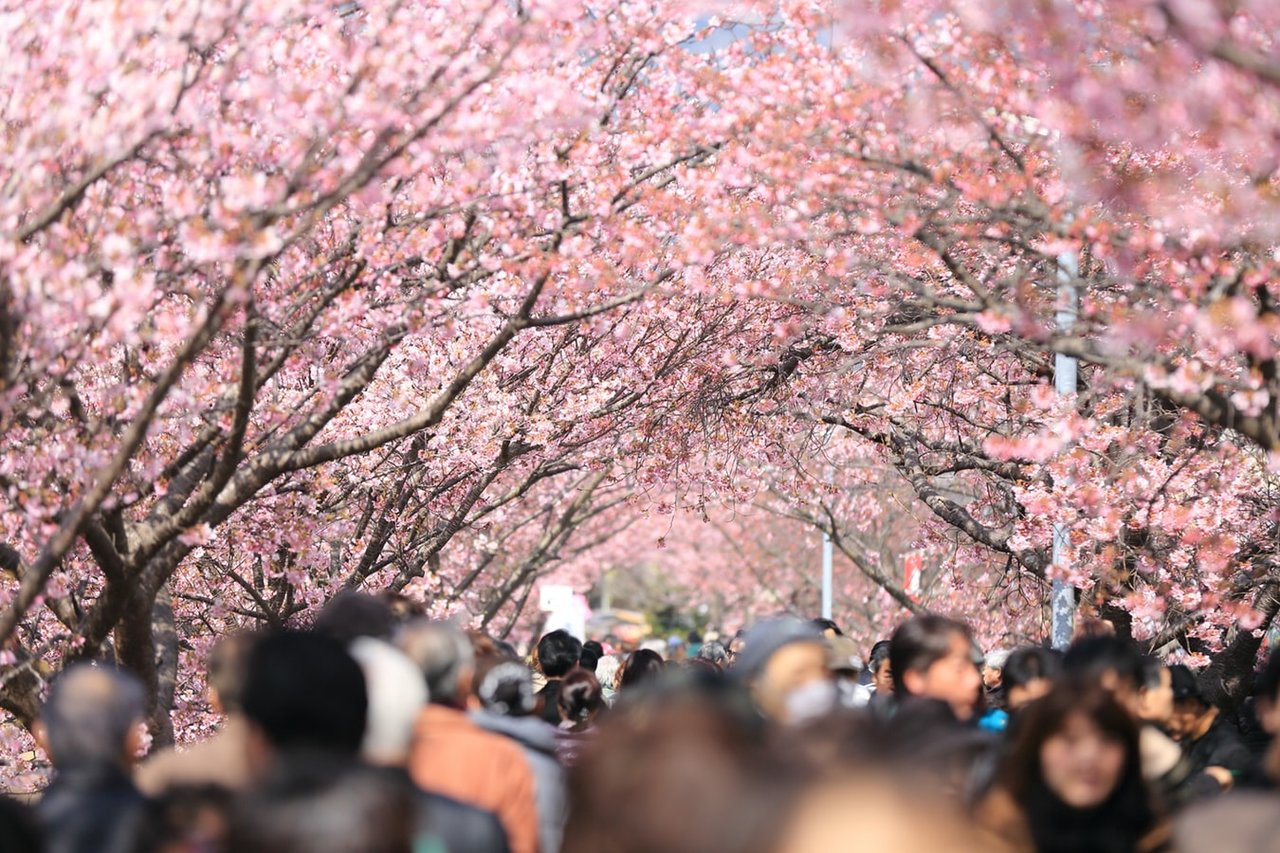 De lange tunnel van kersenbloesem van Sakura-Dori  in Yanaka, Tokyo