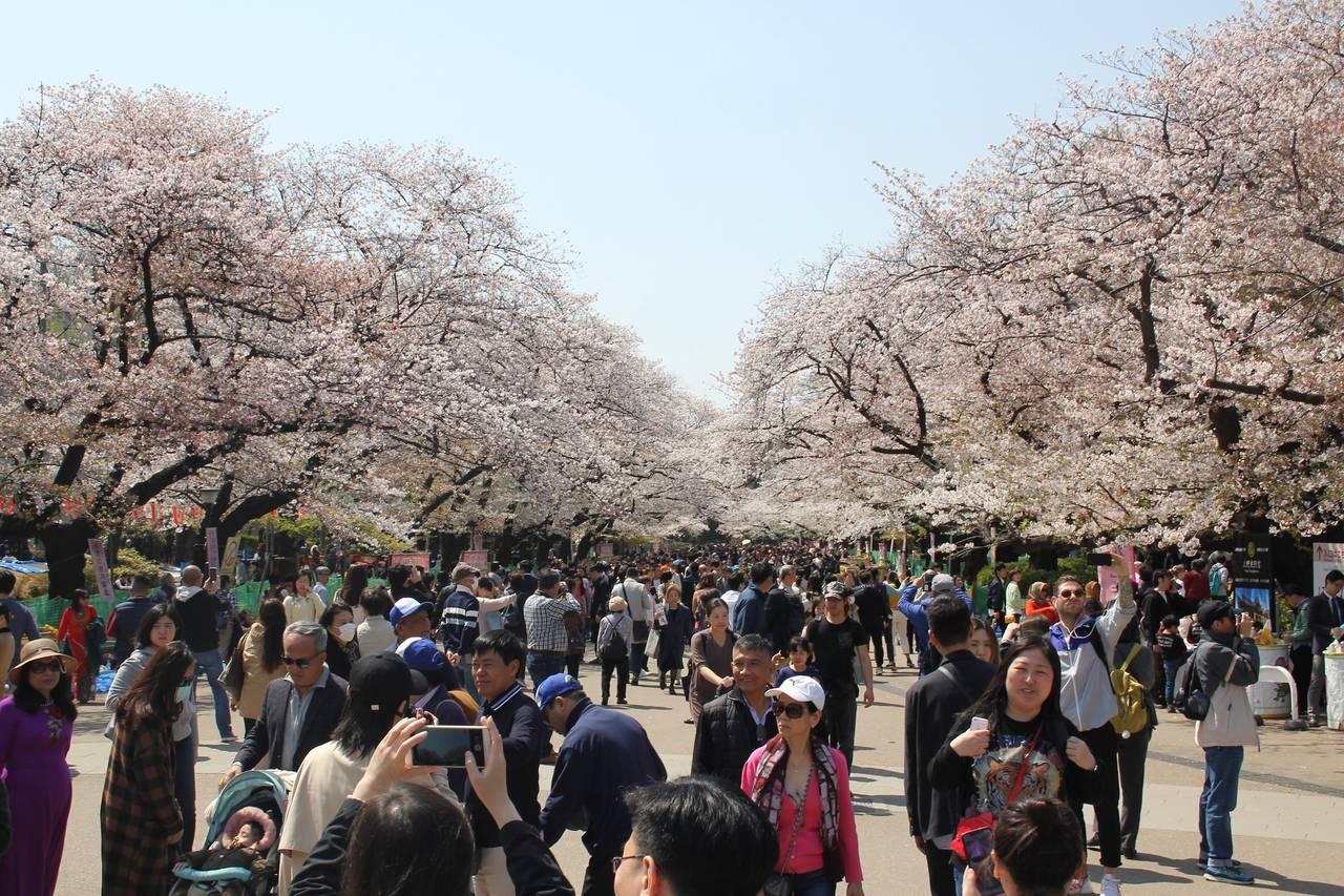 Ueno Park kersenbloesem